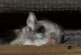 Flying Squirrel in the rafters of my bird feeding station.