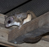 Flying squirrel in the rafters of my birdfeeder station at night.