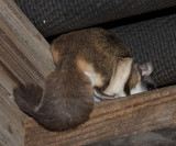 The Flying Squirrel's bushy little tail! :-)