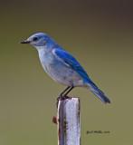 Mountain Bluebird at Oppelo, AR