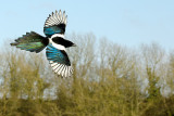 Magpie in flight, Ham Hill