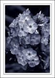 Blue-toned flowers, Lost Gardens of Heligan (2037)