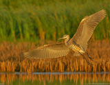 Great Blue Heron Landing Approach at Last Light