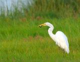 Great Egret With Eel.jpg