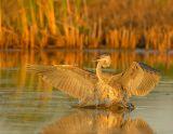 Great Blue Heron Landing at Sunset
