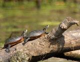 Eastern Painted Turtles Sunning