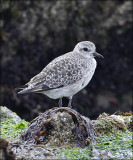 Black-bellied Plover, juv.