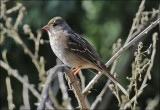 Golden-crowned Sparrow, immature