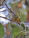 Townsend's Warbler, male