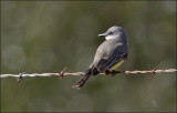 Tropical Kingbird (1 of 3)