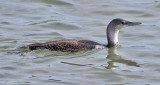 Red-throated Loon, basic adult