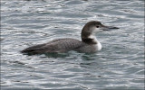 Common Loon, juv.