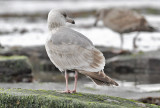 Glaucous-winged  x Herring Gull, 2nd cycle (1 of 2)
