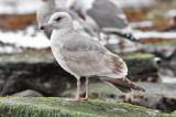 Glaucous-winged x Herring Gull), 2nd cycle (2 of 2)