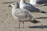 Glaucous-winged x Herring Gull