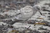 Glaucous-winged gull x Herring gull, 1st cycle
