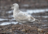 Glaucous-winged x Western Gull, cy 2