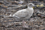 Glaucous-winged x Western Gull, cy 1