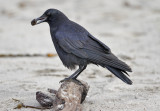 Common Raven (1 of 2)