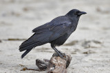 Common Raven (2 of 2)