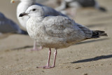 Glaucous-winged x Herring Gull, 1st cycle