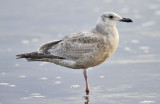 Glaucous-wingd x Herring Gull, 1st cycle