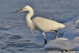 Snowy Egret, alternate adult