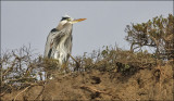 Great Blue Heron, adult