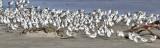 Sanderlings, basic and prealternate (3 of 3)