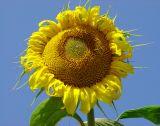 Sun Flower (Color Contrast Challenge)