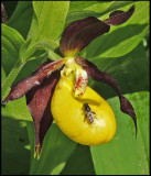 Cypripedium calceolus - Lady's Slipper  - Guckosko.jpg