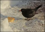 Blackbird - Koltrast. jpg