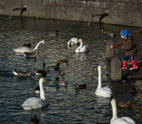 Feeding the ducks geese and swans City Pond Reykjavik geothermally heated water