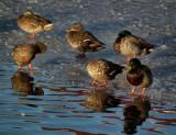 Six mallards and some white feathers Pond_Reykjavik