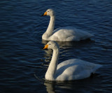 Two Whooper swans_Pond Reykjavik some of these birds no longer migrate from this warmed water with abundant food