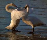 Whooper swan displaying