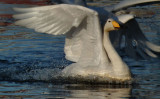 Whooper swan landing on City Pond Reykjavik