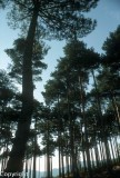 Pine forests, Las Hurdes