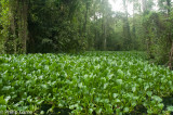 Water hyacinth infestation blocks a channel