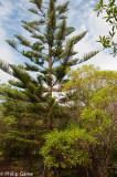 Norfolk's distinctive araucarian pines