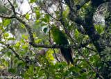 Endemic Green Parrot