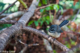 Fantail in the national park
