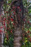 Endemic Niau palm bearing fruit