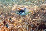 Picasso triggerfish or white-barred triggerfish (Rhinecanthus aculeatus)