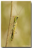 Mantes Religieuses - Praying Mantis