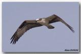 Balbuzard Pêcheur - Osprey