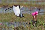 Hydrophasianus chirurgus -Pheasant-tailed Jacana