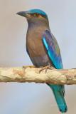 Coracias benghalensis - Indian Roller