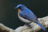 Cyornis tickelliae - Tickell's Blue Flycatcher
