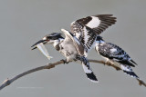 Cerylidae (Pied Kingfishers)